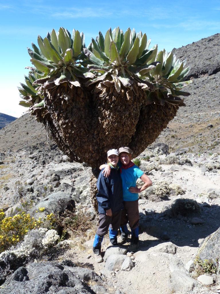 Rare Dendrosenecio plants on the Shira Plateau, Climbing Mt Kilimanjaro.