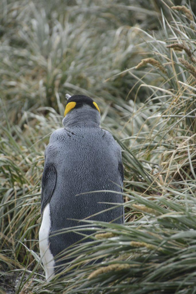 King Penguin at Salisbury Plains. https://gypsyat60.com