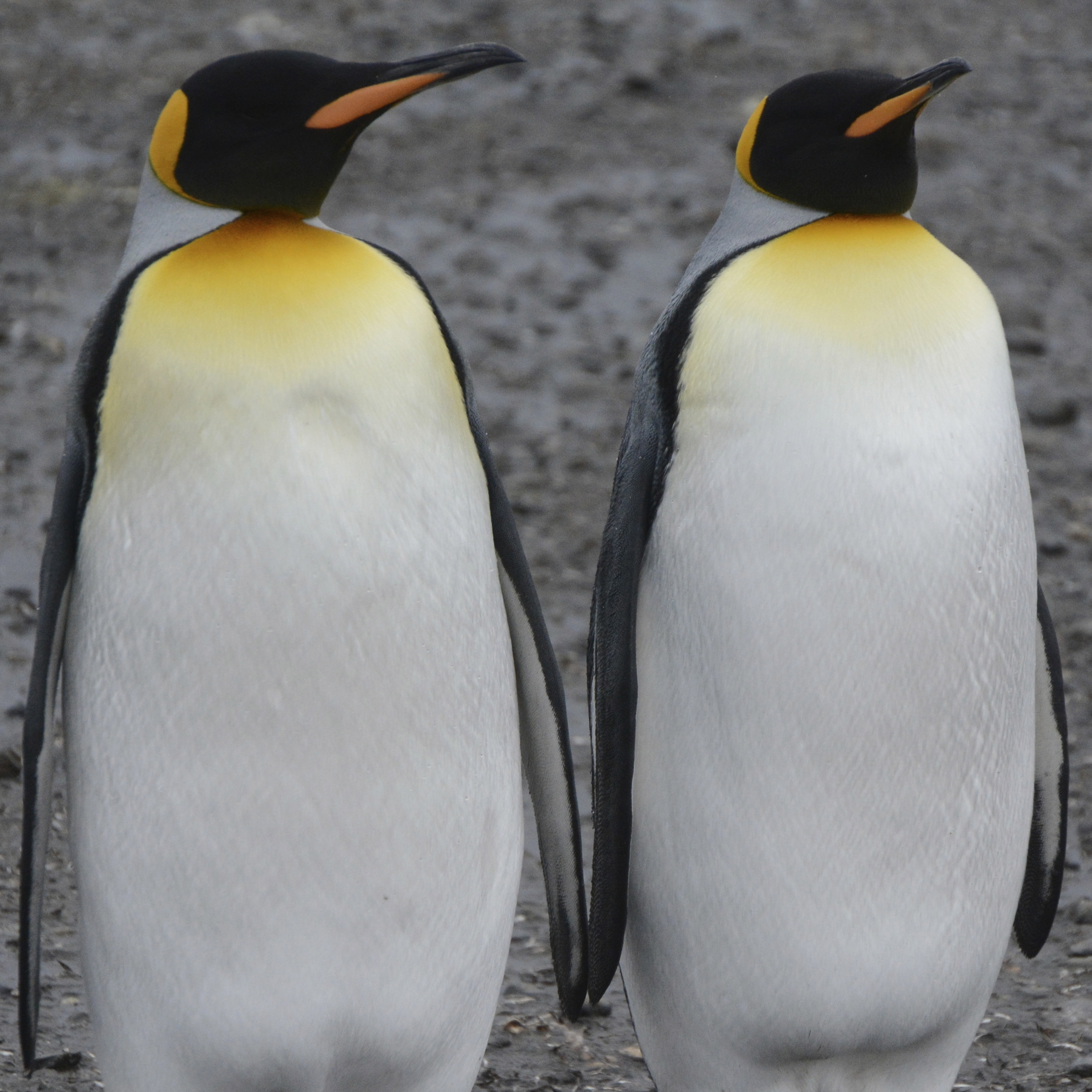 Adult King Penguins standing to attention at Salisbury Plains, South Georgia, Antarctica. www.gypsyat60.com