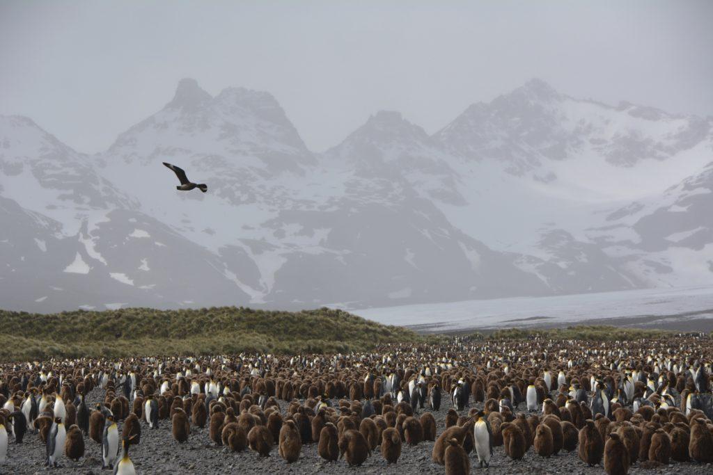 King Penguins at Salisbury Plains, South Georgia, Antarctica. https://www.gypsyat60.com