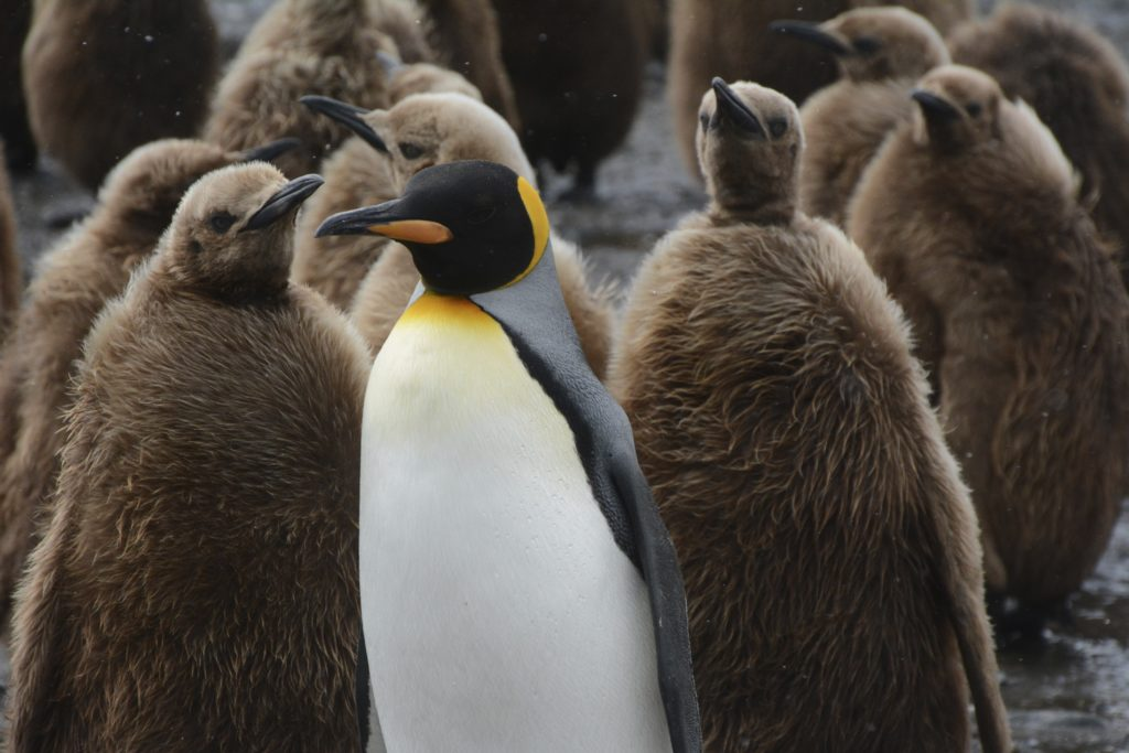 King Penguin adult and chicks at Salisbury Plains, South Georgia, Antarctica.