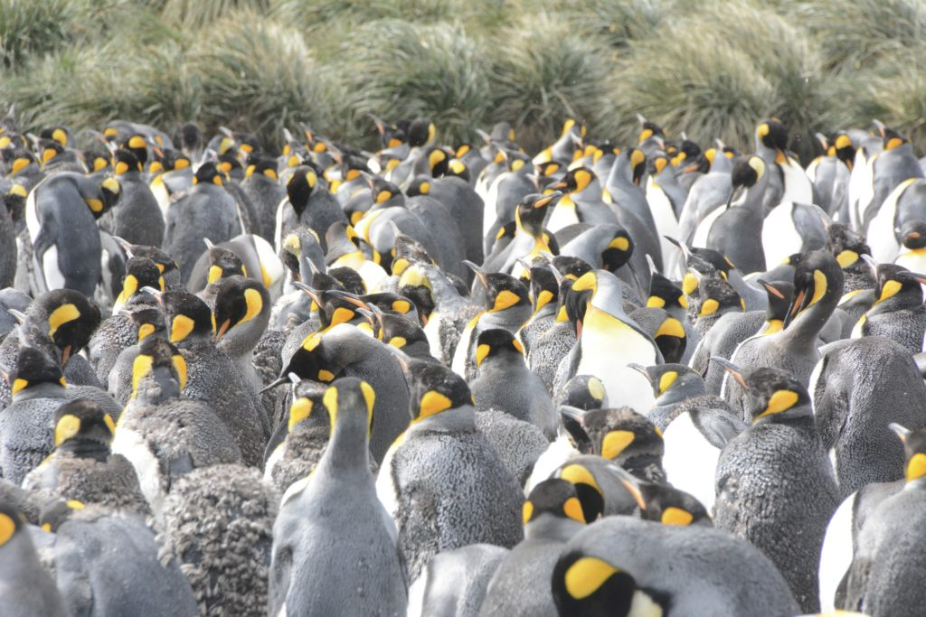King Penguins going through their moult. They are quite grumpy while this happens as they become very itchy. Salisbury Plains, South Georgia, Antarctica. www.gypsy@60.com