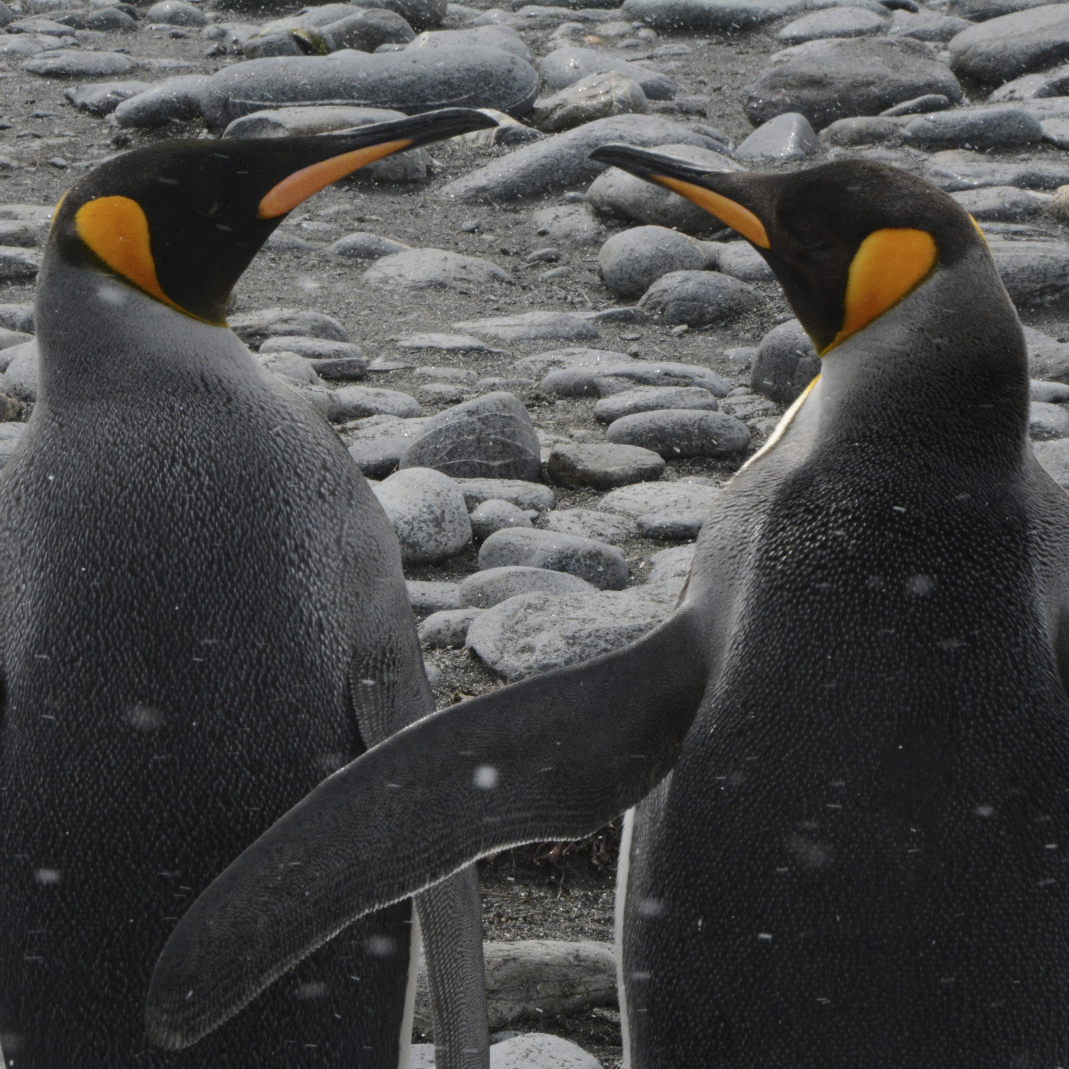 Two male King Penguins marking their territory at Salisbury Plains, South Georgia. https://www.gypsyat60.com