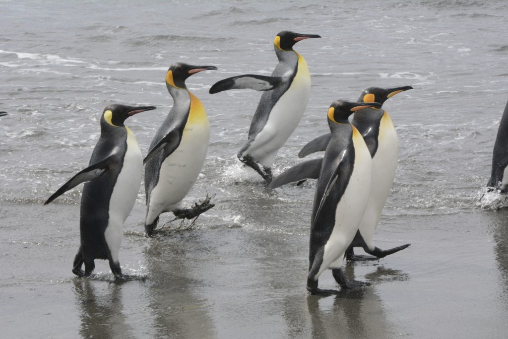 King Penguins going to and fro at Salisbury Plains, Antarctica. https:www.gypsyat60.com