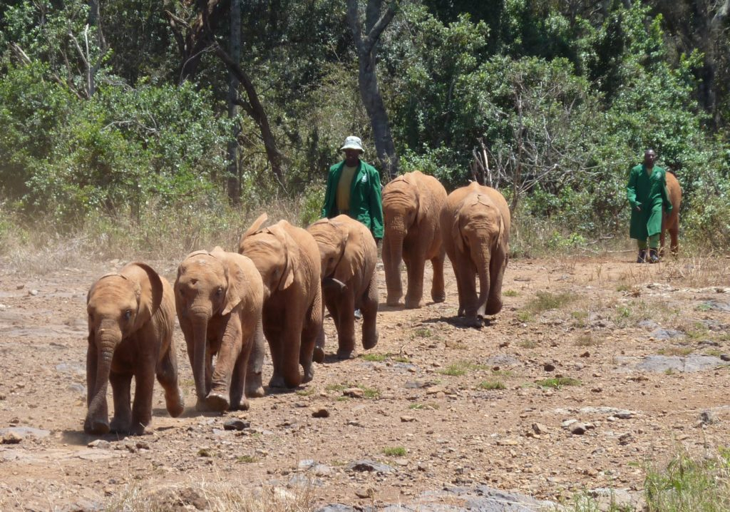 Baby Elephants run towards their milk bottles at lunchtime. Elephant Orphanage, Nairobi, Kenya. David Sheldrick Wildlife Trust. https://www.gypsyat60.com