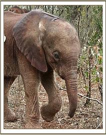 Mutara as a very small baby elephant living at the Sheldrick Elephant Orphanage, Nairobi. Her mother was badly injured and couldn't be saved. Mutara was only one week old when found. https://gypsyat60.com