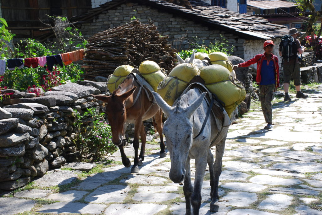 Donkeys in Nepal carrying loads for people on treks. www.gypsyat60.com