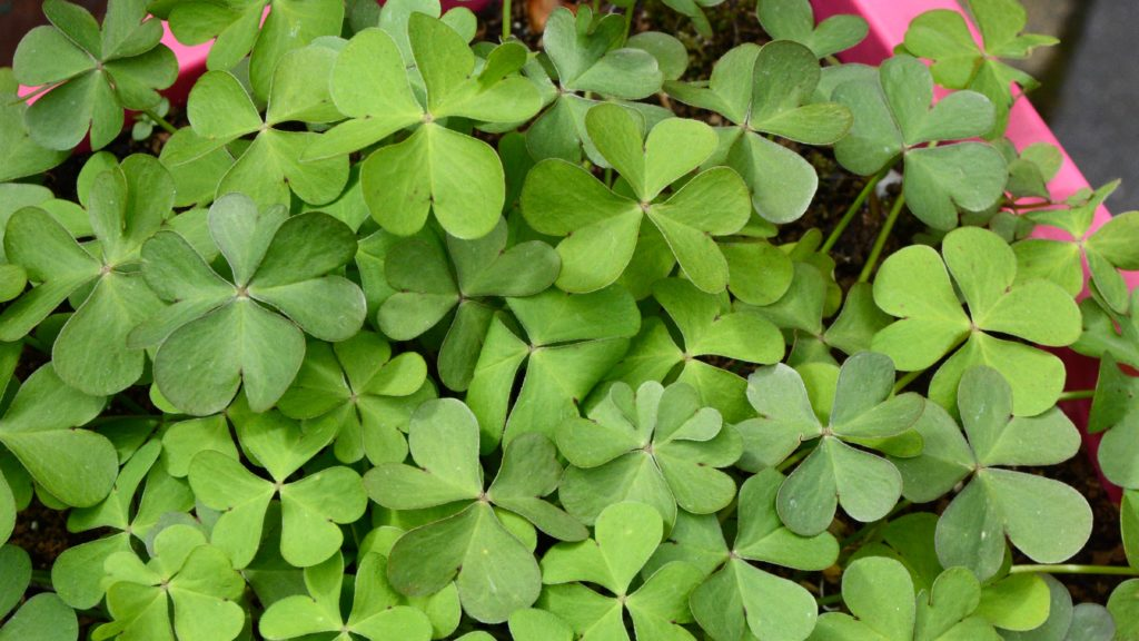 Irish Shamrock plant. gypsyat60.com