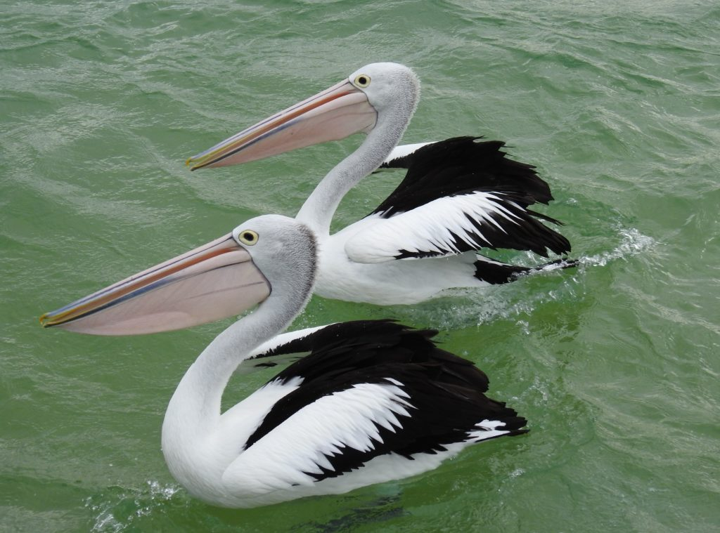 Two pelicans that look like bookends at Tangalooma Island Resort, Moreton Island, Queensland Australia. www.gypsyat60.com