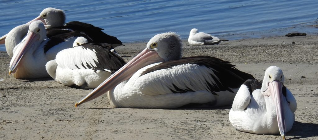 Pelican's at Yamba, New South Wales, taking it easy on the banks. www.gypsyat60.com