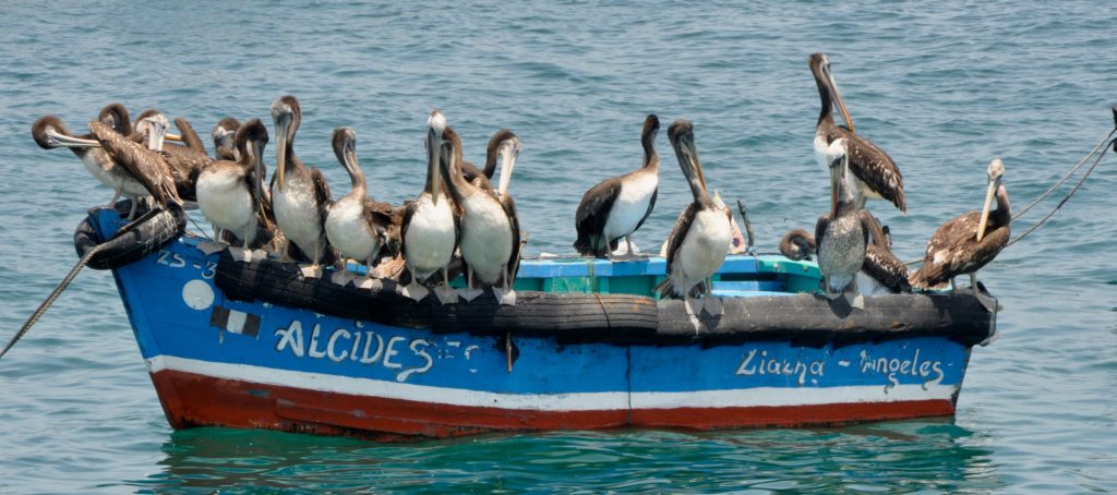 Brown Dalmatian Penguins sitting on a boat and cleaning their feathers. Punta Sal, Peru. www.gypsyat60.com