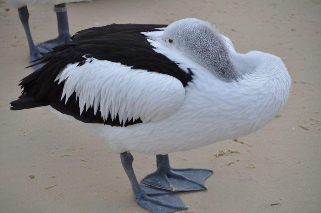 Aussie Pelican - just snoozing at Tangalooma, Moreton Island, Queensland, Australia. www.gypsyat60.com
