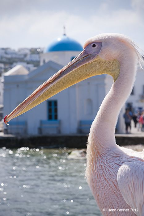 Peter the proud old pelican at Mykonos. Photo credit Glenn Steiner. www.gypsyat60.com