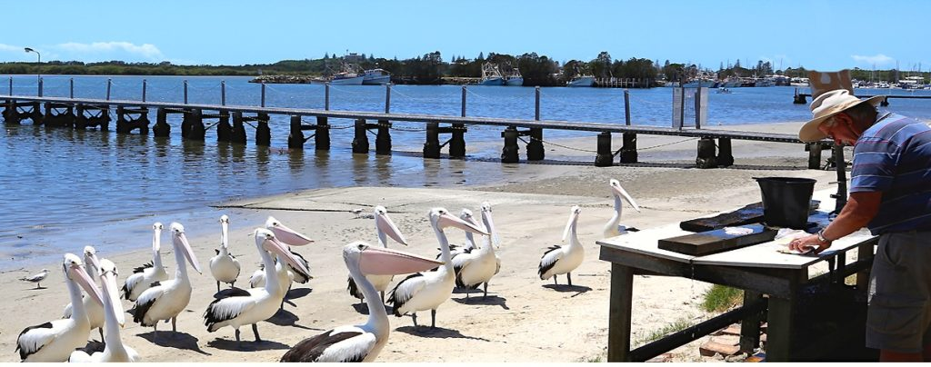 Pelicans patiently waiting for fish scraps after fishermen clean their fish. Yamba, New South Wales, Australia. www.gypsy@60.com