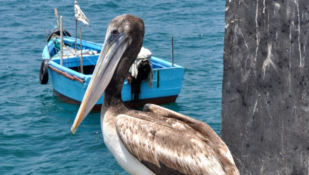 Brown Pelican surveying his kingdom at the finishing village of Punta Sal, Peru. www.gypsyat60.com
