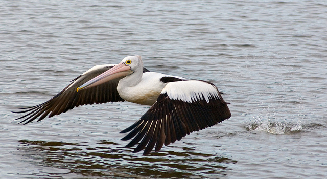 Australian Pelican Skimming Over Water. www.gypsyat60.com