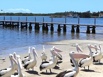 yamba nsw for pelicans prawns and peace gypsy at 60. Black Bedroom Furniture Sets. Home Design Ideas